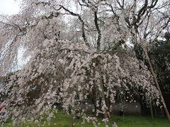 醍醐寺の桜2015