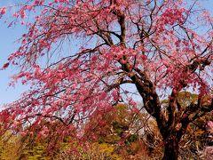皇居東御苑a 二の丸庭園辺り 桜さくら華やいで ☆大手門~汐見坂へ