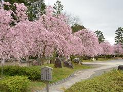 雨の前に京都の桜見物とお墓掃除!2015年