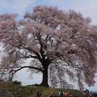 2015.4 満開の桜を訪ねて(2)〜わに塚の桜
