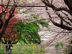 桜の締めを楽しむ~川の流れと千本桜・神奈川県大和市~