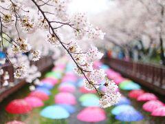 2015年4月 韓国・鎮海軍港祭30万本の桜を見に行きましたが、どしゃぶりの雨でした!