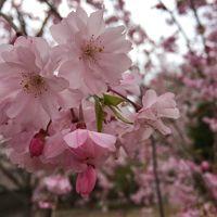 2015年の桜花見 小径散策 | 東京