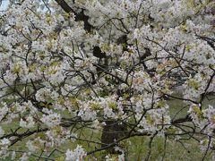 散りゆく桜が美しい 小石川植物園