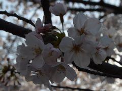 2015年桜 ~茨木桜通りとフレンチジャマン~