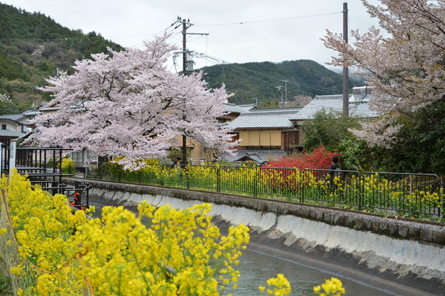 毘沙門堂のご案内の前に軽く山科疎水周辺の桜に参ります。<br />山科疎水の桜として観光本にも掲載されるくらい有名ですが<br />人もたくさん押し寄せます。<br />ほとんどの方がマナーよく撮影していましたが<br />撮影しようとすると突然自撮り棒が現れたりということもありますが<br />まあ楽しく撮影しましょう!