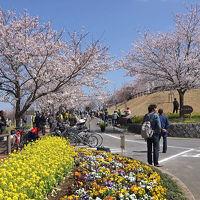 成田のさくらに春が来た 成田・印西・佐倉への花見 2015年