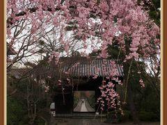 近所の桜はどうかな・・・? ★春の北山五山★