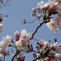 伊丹の桜の名所・・・端ヶ池公園の花見をしてきました 上巻