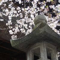 桜満開の笠寺観音漂流