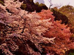 新宿御苑B 快晴春暖、満開!絶好のお花見日和  ☆日本庭園/玉藻池~大木戸門