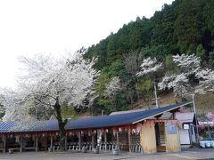 何を思ったか、一年で一番賑わう桜の季節に【樽見鉄道】に乗る