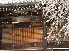 洛北岩倉 妙満寺 紅枝垂れ桜!2015年