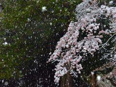 満開の桜に降り積もる名残り雪