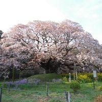 満開の吉高の大桜に行ってきました「雪辱編」