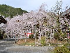 京都山科 毘沙門堂の枝垂れ桜!2015年