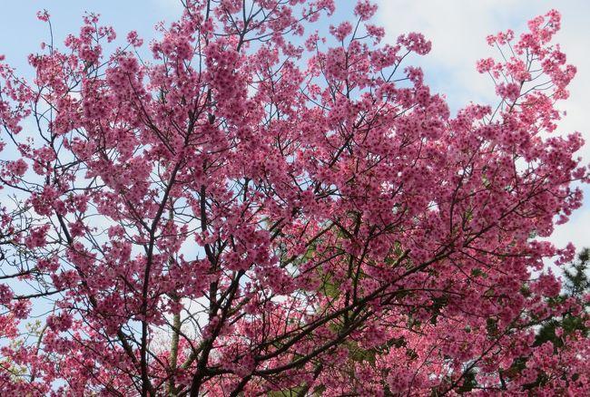 2015春、四国周遊の旅(17):3月31日(1):愛媛、道後温泉、松山城、ソメイヨシノ、陽光桜