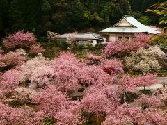 八重桜が満開の「一心寺」に行って 春の香りと太陽の光を浴びて元気をもらいました.。o○