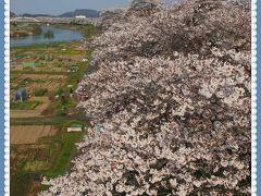 白石川堤「一目千本桜」と、新たなビュースポット千桜橋(せんおうきょう)