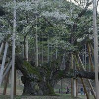 谷汲山華厳寺の桜並木参道と、根尾谷の薄墨桜