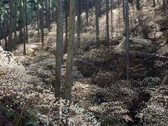 2015焼森山ミツマタ群生地 甘い香りの幻想的景観