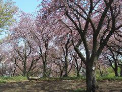 八重桜満開のカーボン山