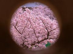 満開の桜と姫路城 中 百間廊下 編