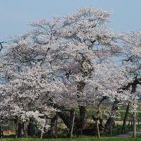 会津若松の石部桜を訪ねて(福島)