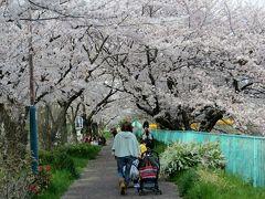 2015春、天白川の桜・草花・野鳥(1)ソメイヨシノ(染井吉野)、ヤエベニシダレ(八重紅枝垂れ)