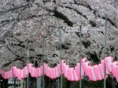 2015春、天白川の桜・草花・野鳥(2)ソメイヨシノ(染井吉野)、ヤエベニシダレ(八重紅枝垂れ)
