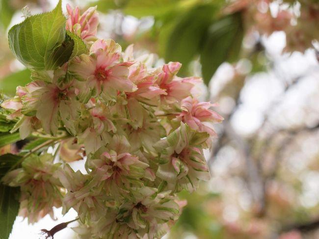 今月の月に一度の定例句会は八重桜満開の新宿御苑!!折しも安倍首相が開催した「桜を見る会」の翌日です♪<br />お天気はイマイチでしたが、八重の桜は満開!!とってもきれいでした。<br />そして大きな大きなハンカチノキ!!<br />こちらも満開でした!<br /><br />新宿御苑は、徳川家康の譜代の家臣内藤清成氏に授けた江戸屋敷の一部と言われています。<br />江戸から西にのびる街道と、鎌倉街道が交差する要所であったことから、この一帯の警護など軍事的な目的で信頼できる家臣に与えられたのだそうです。<br />その後、皇室の庭園時代を経て、昭和24年に国民公園として公開されるようになったそうです。<br /><br /><br /><br />                      (表紙は御衣黄です。)