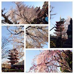 桜と馬肉(桜肉鍋/中江/浅草)