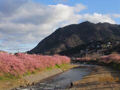 満開の河津桜とソフトボール