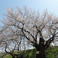 中山町長崎「お達磨の桜」(山形の桜)