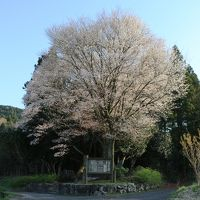 推定樹齢700年、岡山県指定天然記念物黒岩の山桜と初逢瀬