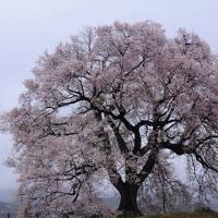 わに塚の桜と身延の枝垂桜