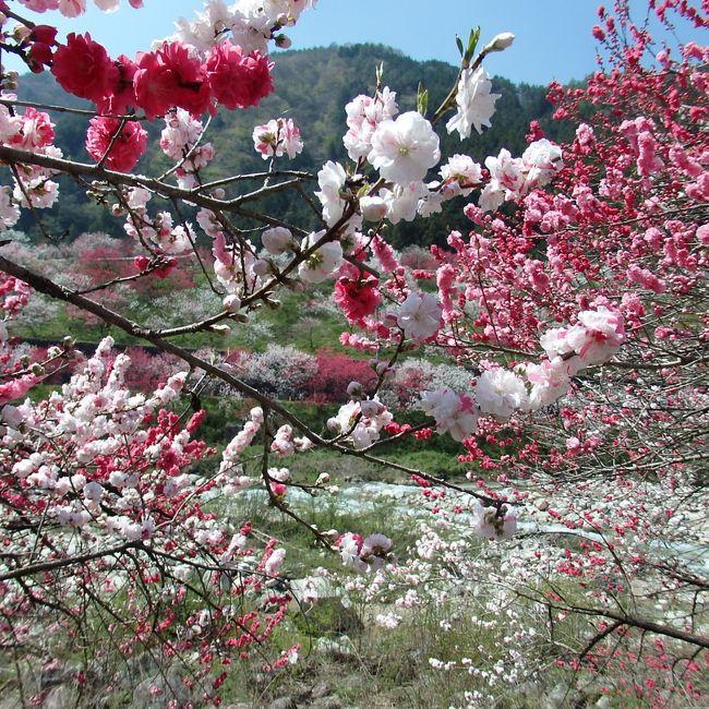 名古屋方面から中央自動車道 園原ICを降りて昼神温泉近くの花桃の里に行ってきました。<br />桜や芝桜とは別に、花桃を売りにしている観光地もあるんですね。<br /><br />花桃?? → 花を観賞するために改良された桃だそうです。<br />1本で白、ピンク、赤と三色混合の花をつけるものもあります。とても不思議です。<br /><br />あと少しで満開の絶頂期です。<br />ついでに、ヘブンス園原の「水芭蕉」も見てきました。
