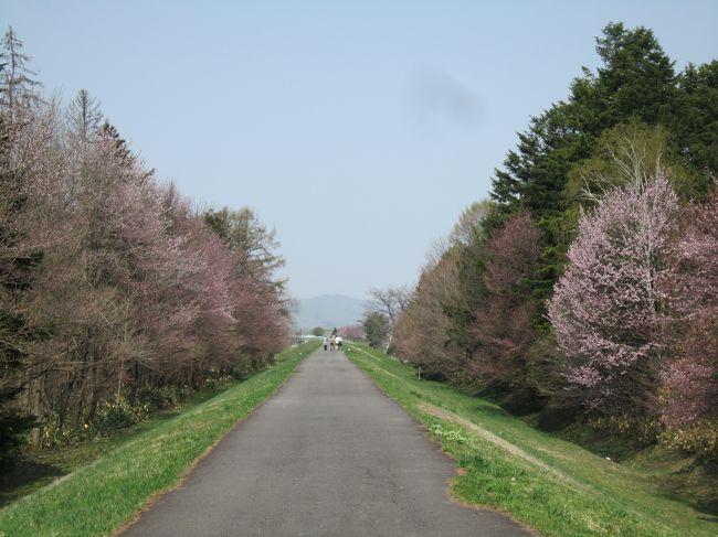 北海道旭川でも、やーっと4月28日、開花宣言!夫に、「お花見に行こうよ」と言いましたら、「人混みは嫌!静かな所でお花見なら良い」とのこと。花見って、わいわいするから、楽しいのになあ・・・でも、賢い妻は、人のいない穴場でのお花見を計画いたしました。