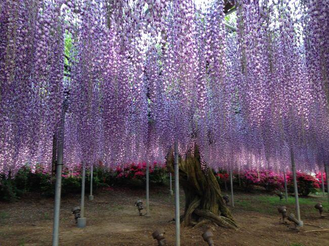 藤の花は、色によって開花時期がずれていて、薄紅色、紫色、白色、黄色の順に咲いて行きますが、今年は、真冬並みの寒波が春に来て、その後に急に暖かくなったためか、薄紅を追いかけるように紫色、白色の藤も咲いて、園内がいつも以上に花の洪水。ツツジも満開。