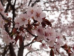 北海道の桜、今年も可憐に咲きました♪