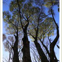 Solitary Journey [1570] 自然美!細かく分かれた枝に春いち早く芽吹いた葉をつけていたブナの巨木<臥龍山のブナ林>広島県北広島町