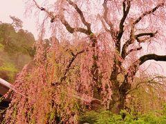 身延山2/3 久遠寺のしだれ桜 散り初めのころ ☆樹齢400年の貫録感じて