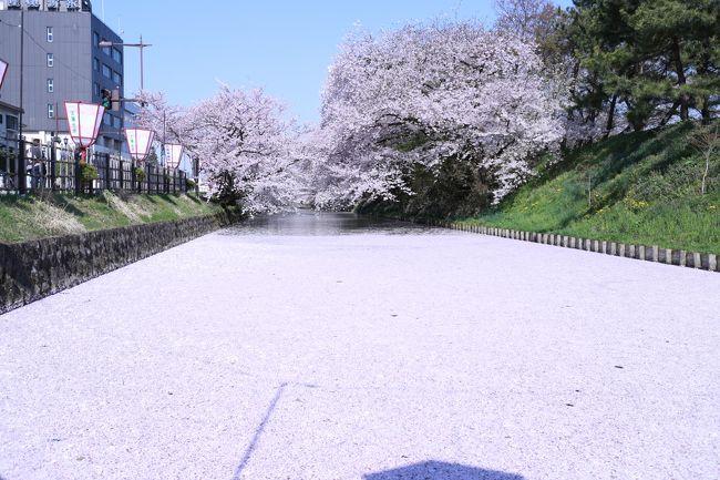 桜前線がやっと青森にも来ました!<br />4月半ば、まずは八戸市の新井田公園と三沢市の中央公園へ。<br />そして念願の弘前さくらまつりに行ってきました。<br />今年は桜の開花時期が過去2番目に早かったそうで、GWの時期はソメイヨシノは終わってしまい八重桜しか残っていなかったそうです。<br />とにかく混む!!!と聞いていたので公式HPや実際に行かれた方のブログ、駐車場穴場までもHPにしている方もいるのでネットで情報をしっかり掴んで、当日の朝は4時起き((+_+))!!!<br />三沢市→青森市までは一般道を通り、青森市から弘前市までは高速道路に乗る事3時間半、朝7時頃弘前城に着いた私達を待っていた物は駐車場待ちの沢山の車でした!