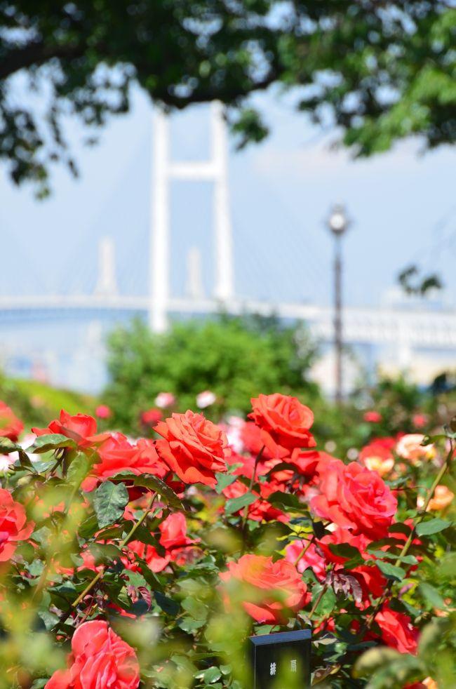 港の見える丘公園と山手西洋館の薔薇 見頃です
