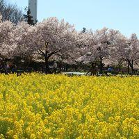 蘆花恒春園・駒場公園・駒場野公園桜巡り2015年3月
