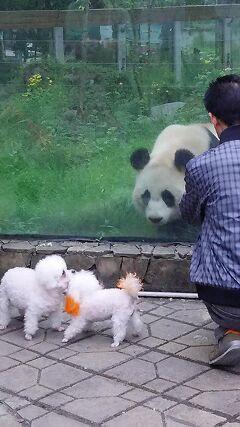 プードル犬とパンダ(成都・臥龍・碧峰峡のパンダ基地と映秀・三江のパンダ 5日目)