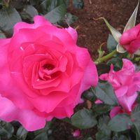 大井戸公園(尼崎市)のバラ