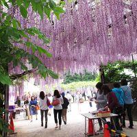 竹田城からの 山陰地方 最大の藤棚へ