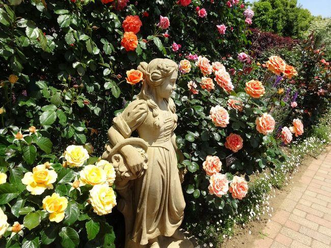 平塚市にある花菜ガーデンは2010年3月にオープンした園芸や農業を学べる広大な施設です。とはいえ若い施設なので四季折々に咲く花や木々の数も少なくまだ成長途中だろうと思っていました。<br />5月に入りフラワーゾーンのバラがきれいに咲き始めたとの情報得て、開園5年目のバラ園を中心にその成長ぶりを見てきました。