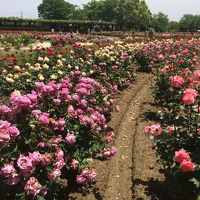満開のバラと日本丸